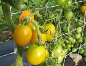 The sweet, sweet yellow cherry tomatoes seem to sell as fast as we pick them.  We are blessed with elegant eggplant and healthy red and white onions.  Cucumbers are now a wonderful size, not too big and and not seedy.